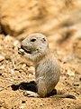 Prairie Dog (19014508183).jpg