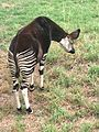 Pretoria National Zoological Gardens Okapi.jpg