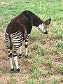 Pretoria National Zoological Gardens Okapi.jpg