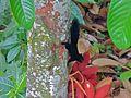 Prevost's Squirrel (Callosciurus prevostii pluto) (8082766184).jpg