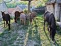 Pribudski magarci - panoramio.jpg