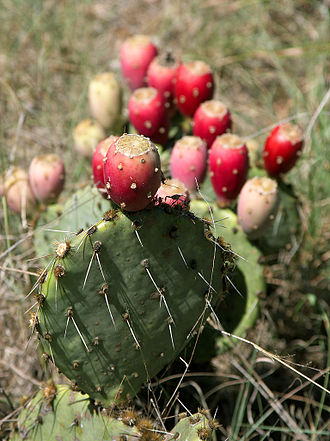 Opuntia - Typical morphology of an Opuntia with fruit