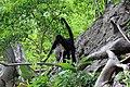 Primates - Ateles geoffroyi - 4.jpg