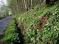 Primroses on the Edradynate road - geograph.org.uk - 406336.jpg