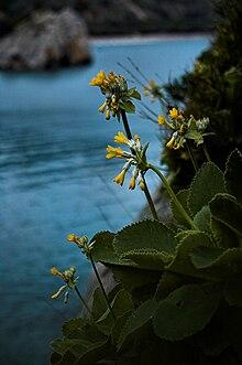 La Primula di Palinuro, raro endemismo costiero, eletto simbolo del parco