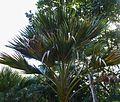 Pritchardia maideniana (4762214188).jpg