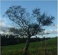 Profile of a tree - geograph.org.uk - 257008.jpg