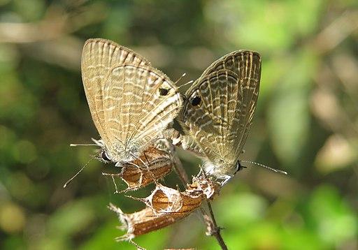 Prosotas nora Felder, 1860 – Common Lineblue mating - At Mayyil, Kannur, Kerala (7)