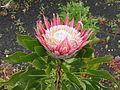 Protea cynaroides (Flower).jpg