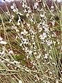 Prunus arabica flowers.jpg