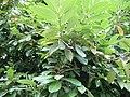 Prunus laurocerasus fruit.jpg