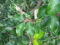 Prunus lusitanica ssp azorica (Flower).jpg
