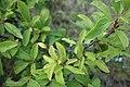 Prunus spinosa, Rosaceae 02.jpg