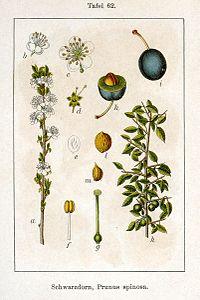 Prunus spinosa Sturm62.jpg