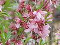Prunus tenella0.jpg