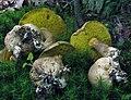 Pseudoboletus parasiticus (Bull.) Šutara 351959.jpg