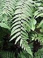 Pteridium aquilinum Orlica pospolita 2007-08-11 01.jpg