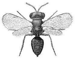 Pteromalus puparum.jpg