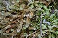 Ptychomnion aciculare - Ptychomniaceae.JPG