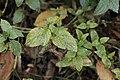 Puccinia menthae on Peppermint - Mentha × piperita (30709426897).jpg