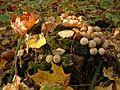 Puff-ball mushroom.jpg