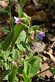 Pulmonaria-officinalis 0202 a.jpg