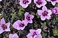 Purple Saxifrage - Saxifraga oppositifolia - panoramio (5).jpg