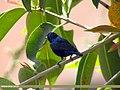 Purple Sunbird (Cinnyris asiaticus) (15273717563).jpg