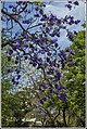Purple and White Jacaranda at Grafton-1 (22809051892).jpg