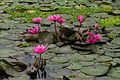 Purple water lillies (23096936810).jpg