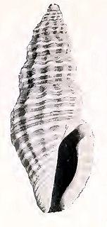 <i>Pyrgocythara scammoni</i> Species of gastropod