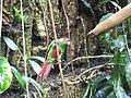 Pyrrhura cruentata -Central Park Zoo.jpg
