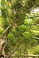 Quebradura (Euphorbia tirucalli) - Flickr - Alejandro Bayer (1).jpg