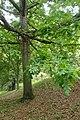 Quercus alba kz02.jpg
