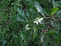 Quercus cerris IMG 5583.jpg
