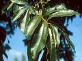Quercus imbricaria UGA1480398.jpg