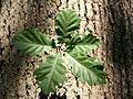 Quercus petraea JPG1b.jpg