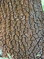 Quercus pyrenaica BotGardBln 20170610 B.jpg