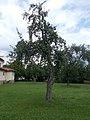 R.C. Church, apple tree, 2020 Zagyvapálfalva.jpg