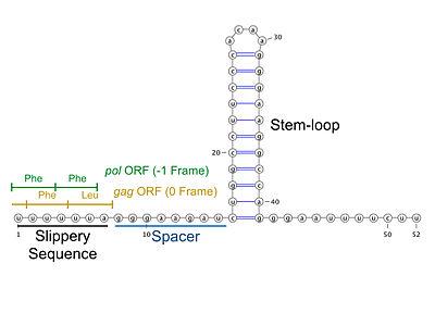 HIV ribosomal frameshift signal - Wikipedia