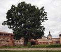 RU Kirillov Tree 2.JPG
