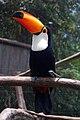Ramphastos toco-Gramado Zoo, Brazil-a.jpg