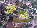 Ranunculales - Mahonia aquifolium 2.jpg