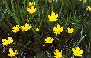 Ranunculus alismifolius - Image: Ranunculusalismifoli us