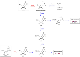 UCK2 - Image: Reaction pathway for UCK2 in pyrimidine biosynthesis