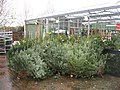 Ready for Christmas - geograph.org.uk - 1087396.jpg