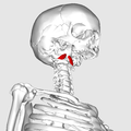 Rectus capitis anterior muscle05.png
