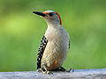 Red-bellied Woodpecker female RWD3.jpg