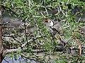 Red-billed hornbill in Ruaha.jpg