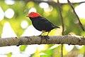 Red-capped Manakin (Pipra mentalis) (7222937946).jpg